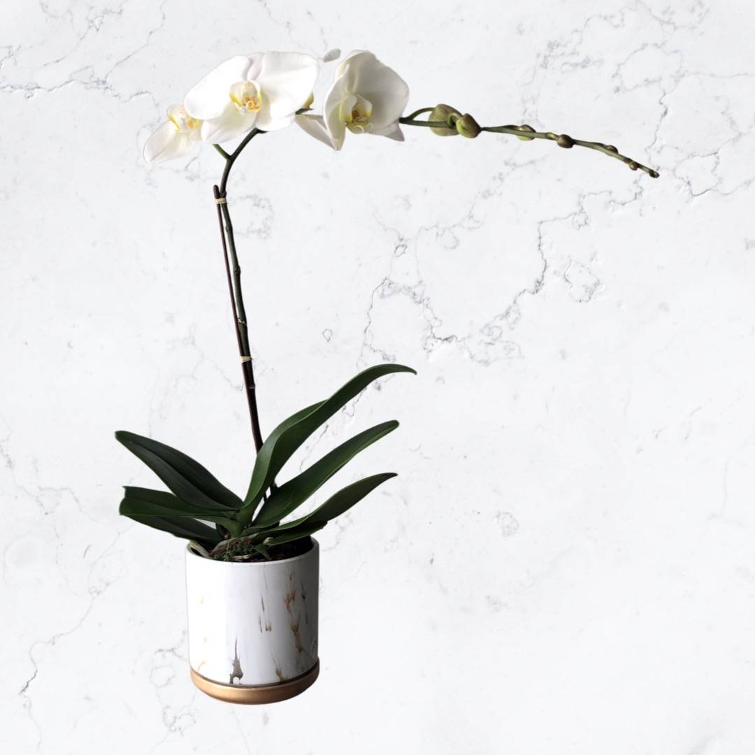 Be My Orchid (White)