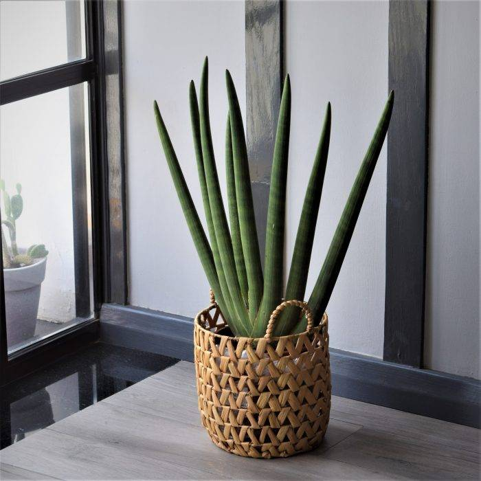 Sansevieria Cylindrica in a Basket